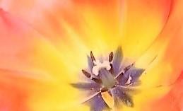 Tulip_2016